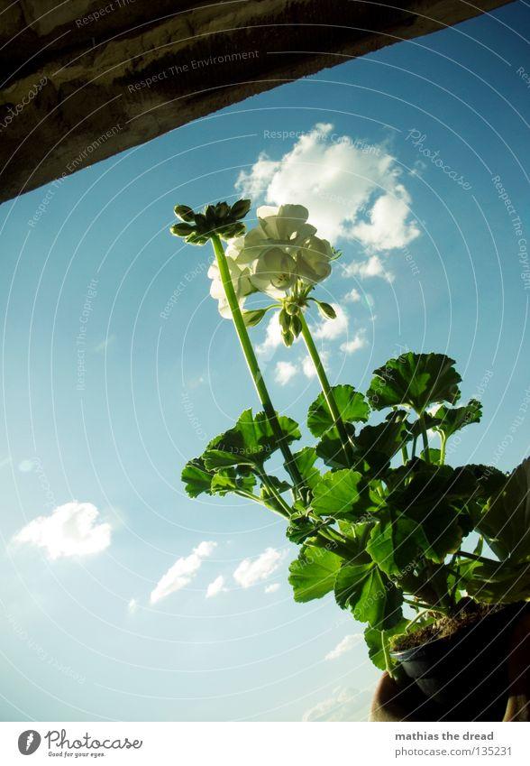 PLUME IM TOPF Pelargonie Blume Topfpflanze Pflanze Jungpflanze Grünpflanze Blüte grün organisch weiß Himmel Wolken schön strahlend Sonnenlicht Balkon Natur