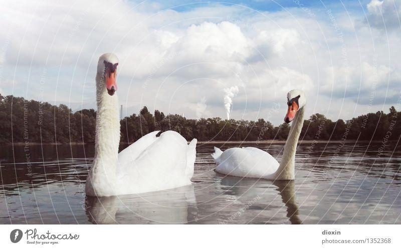 smokin´ swans Technik & Technologie Energiewirtschaft Kohlekraftwerk Umwelt Natur Landschaft Wasser Klima Klimawandel Fluss Rhein Altrhein Tier Wildtier Vogel