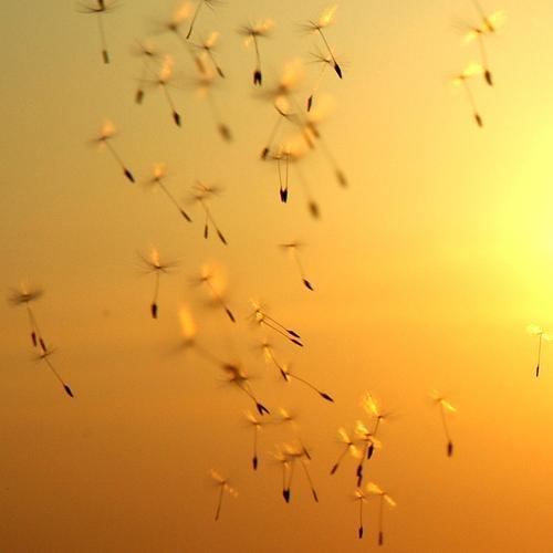 Reise zur Sonne. Sonnenuntergang Löwenzahn Samen Zukunft Sturm Wind schön Mangel einzigartig mehrere Sonnenschirm Schirm fruchtbar ungewiss Geborgenheit Abend
