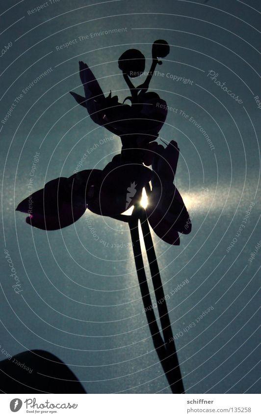 Tanz mit mir Pflanze Blume Zimmerpflanze Orchidee Beleuchtung blitzen schimmern glänzend Silhouette Stil Stengel Blüte Reifezeit Wachstum dunkel