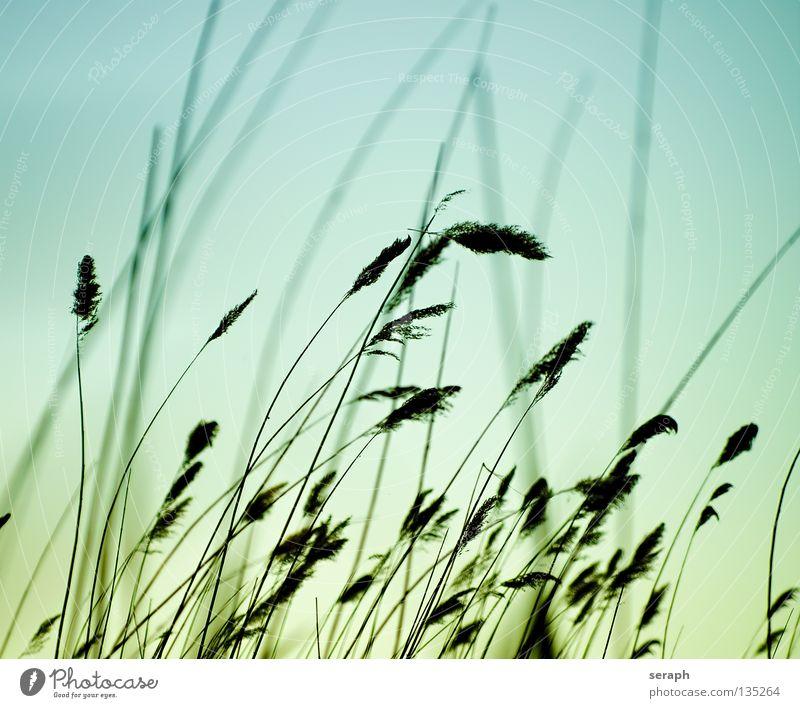 Soft Reed Himmel Natur blau grün Pflanze Umwelt Wiese Gefühle Gras Stil See Luft träumen Hintergrundbild Wind Wachstum