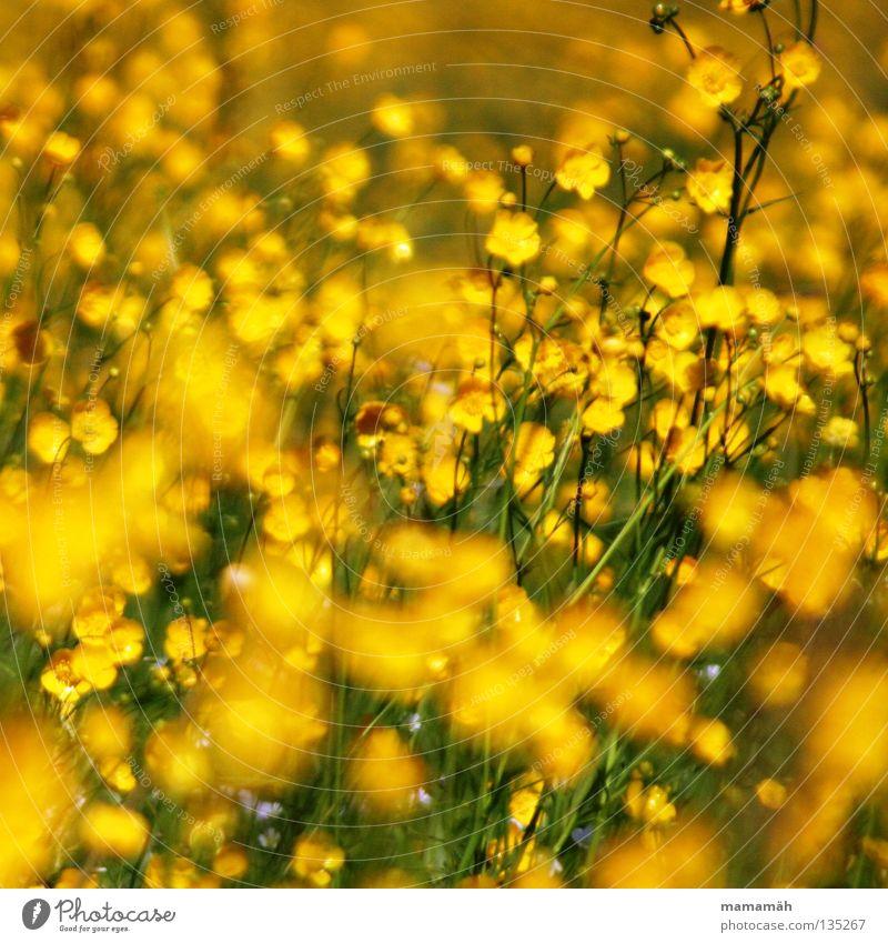 Butterblumenmeer schön Blume grün Pflanze Sommer gelb Wiese Blüte Gras frisch Fröhlichkeit Stengel Halm Wildpflanze Sumpf-Dotterblumen
