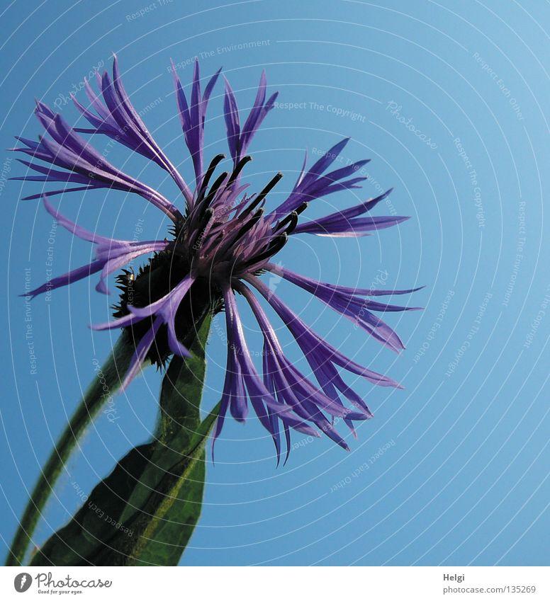 kornblumenblau.... Kornblume Blume Blüte Blütenblatt Stengel Halm grün Wolken weiß Frühling Sommer Mai Juni Juli Blühend emporragend Feld Straßenrand sommerlich