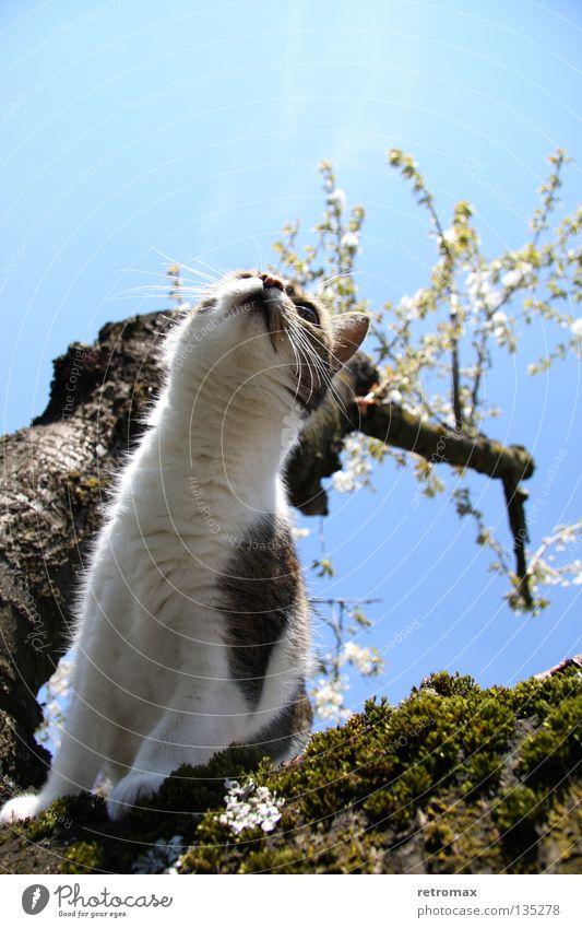 tolle Aussichten Himmel Baum blau Blüte Holz Katze sitzen Macht Wachstum Frucht Verkehrswege aufwärts Säugetier Kirsche