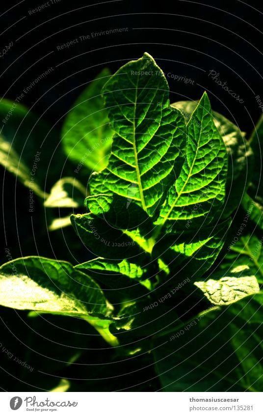 Geschändete Schönheit Pflanze grün schön Anmut schwarz dunkel Frühling durchleuchtet Licht Kartoffeln Wut geschändet verstummelt