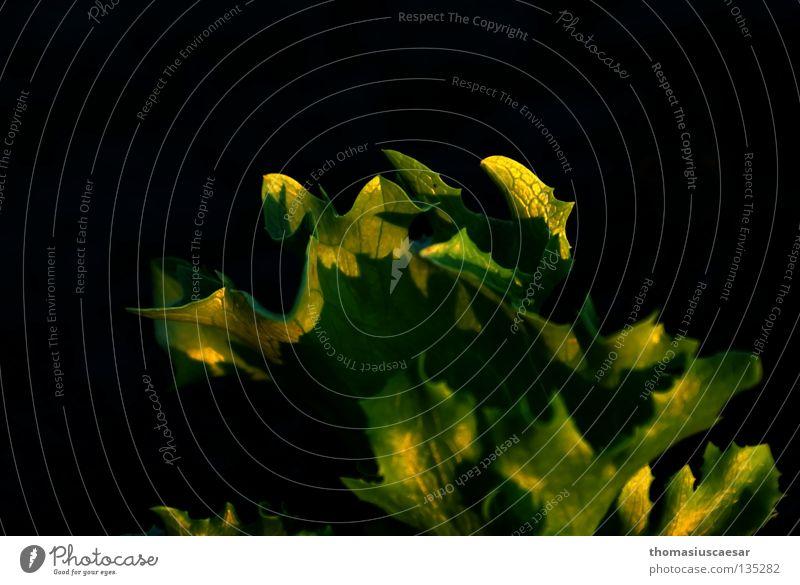 Salatkraut Pflanze grün schwarz erleuchten Licht durchleuchtet Frühling dunkel Physik Kräusel Beet Feld Wärme ruhig