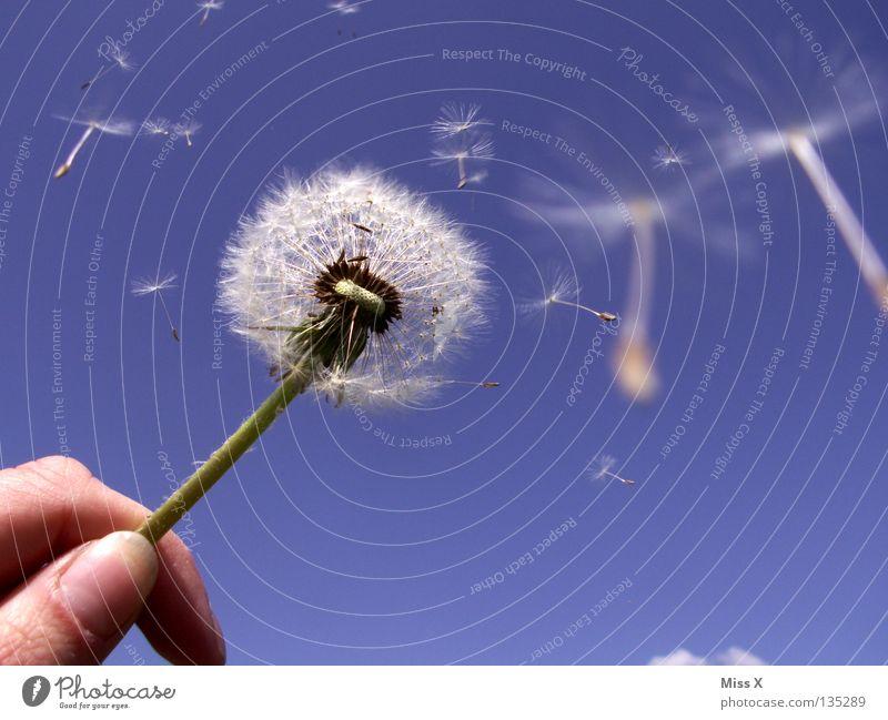 Dandylion Sommer Luftverkehr Hand Finger Himmel Wolken Wind Blume fliegen blau weiß Löwenzahn Stengel himmelblau blasen Samen Freiheit frei Farbfoto