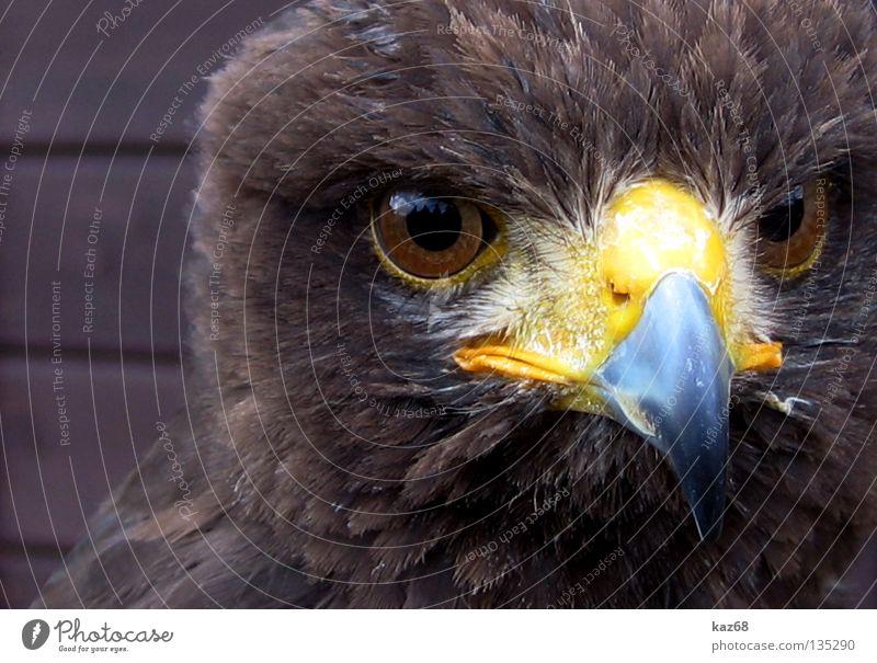 Hawk Adler Greifvogel Vogel Wachsamkeit Schnabel Feder Ornithologie Tier schön Umwelt Porträt gefiedert gefangen bewegungslos Haken Adleraugen Bussard