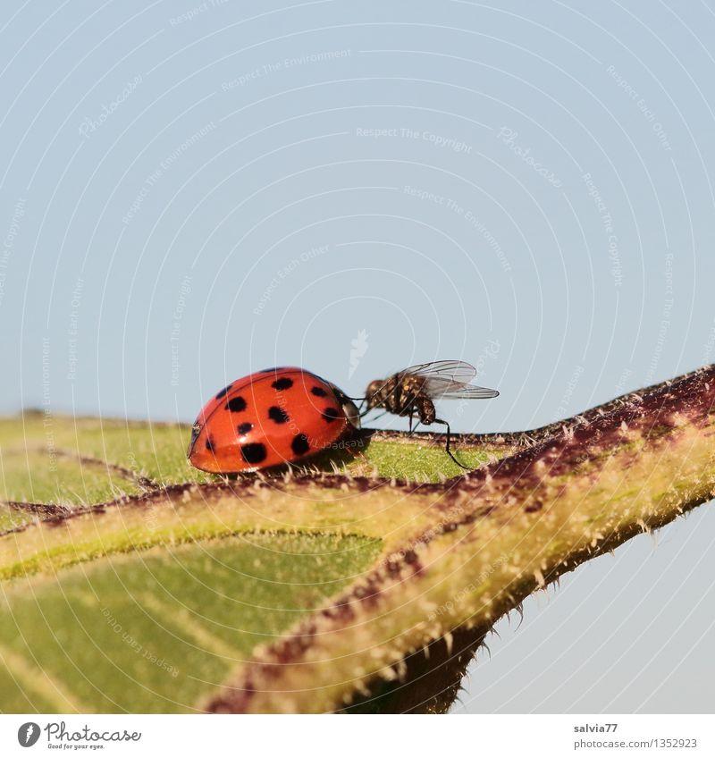 Berührung Natur Pflanze Tier Himmel Sommer Blatt Fliege Käfer Marienkäfer Insekt 2 Beratung berühren krabbeln Zusammensein klein Neugier niedlich blau grün rot