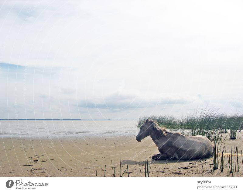 zurück nach uruguay Pferd schlafen Tier Einsamkeit Strand Wolken weich Schilfrohr grün Meer braun nass Macht See Unendlichkeit ruhig Gelassenheit unberührt