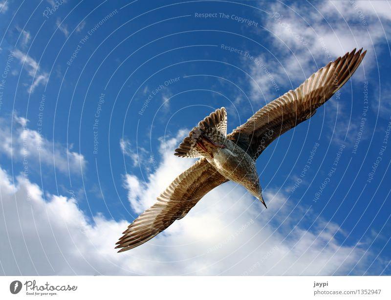 Adler Himmel blau ruhig Wolken Tier Ferne Freiheit fliegen braun Vogel Luft elegant Wildtier Feder Flügel Schönes Wetter