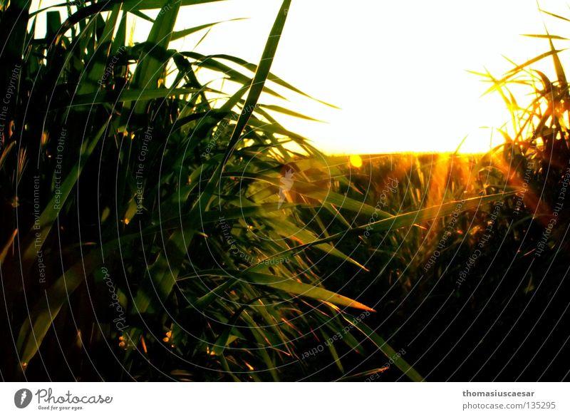 Sonnenidylle Natur grün ruhig gelb dunkel Gras Frühling Wärme hell Feld Physik Gerste