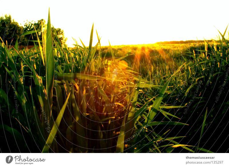 Frühlingskraft Feld Gras Gerste Baum gelb grün dunkel Physik Dämmerung Sonnenstrahlen Kraft frisch saftig Himmel hell Wärme Abend Natur frei