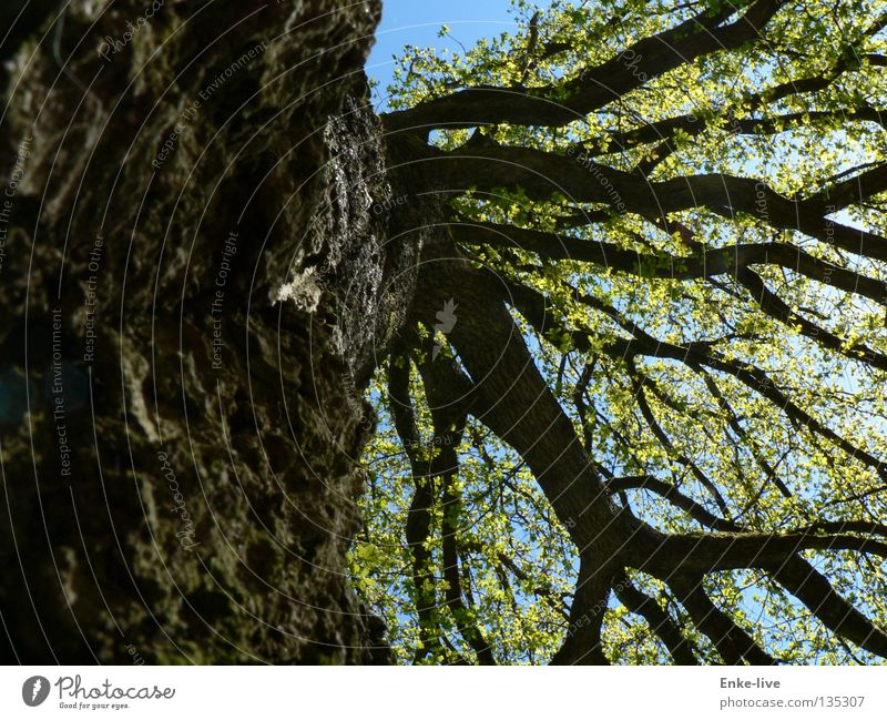 Baum Blatt Geäst Baumkrone verzweigt grün Baumrinde Denken schön interessant Frühling Verkehr Baumstamm Ast Himmel blau braun. schwarz Erholung fallenlassen