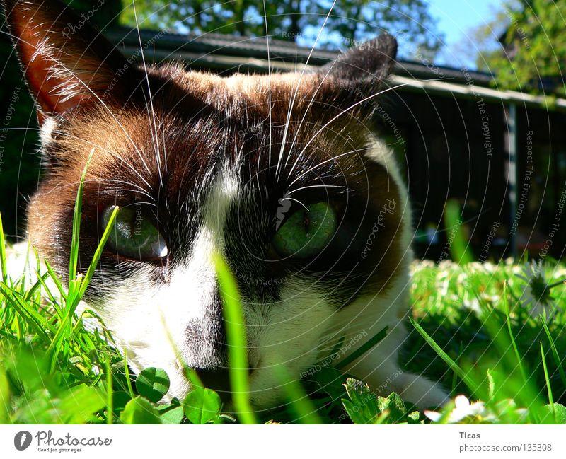 Freigänger Katze Gras Wiese Haustier Sommer Säugetier cat Garten garden grass meadow grassland pet house pet eyes freigang day pass day parole day relaese