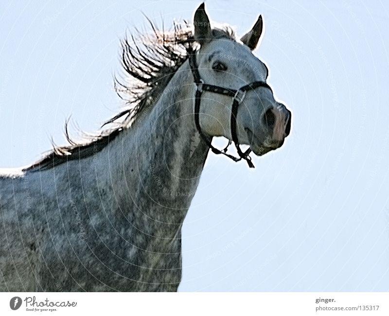 YEEHAA !!! schön Reitsport Tier Himmel Pferd Geschwindigkeit blau grau Stolz Mähne fliegend Schimmel Nüstern Halfter Ausgelassenheit Säugetier Pferdegangart