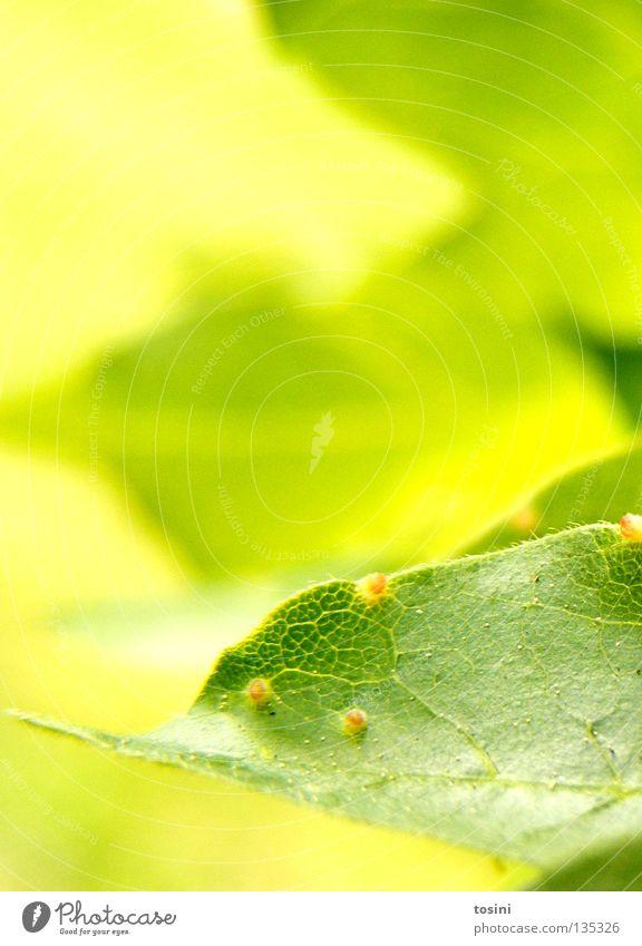 grün [1/2] Natur Baum grün Sommer Blatt Frühling Hoffnung zart Pollen Staubfäden Photosynthese Blüte