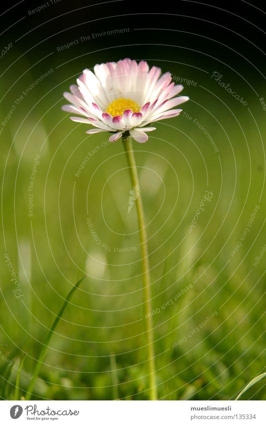 Gänseblümchen Blume weiß grün schwarz gelb Einsamkeit Sommer Frühling Schrebergarten sommerlich Makroaufnahme Nahaufnahme Erde Sand