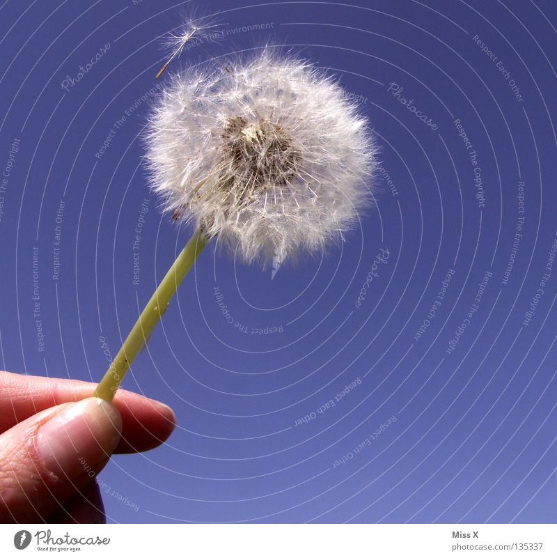 Dandylion II Hand Himmel weiß Blume blau fliegen Finger Luftverkehr Stengel Löwenzahn Samen
