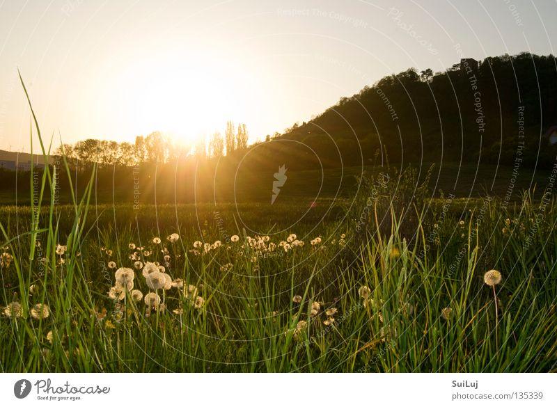 Sonnenuntergang Sommer Wiese Gras Horizont Löwenzahn Landschaft