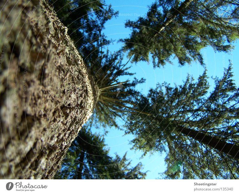 aufwärts Baum grün blau Wald hoch Wachstum lang Tanne Baumrinde Koloss Schwarzwald Nadelbaum