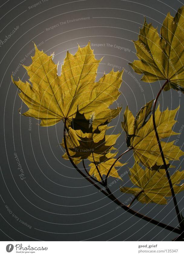 licht 2 Herbst Blatt Ahorn Baum Himmel grau gelb Zweig Ast leaf sky