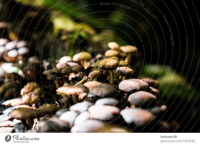 Pilzwald Natur Sonnenlicht Herbst Moos Wald braun grün Umwelt Pilzsucher Pilzhut herbstlich Herbstwald Farbfoto Außenaufnahme Tag Licht Schatten Kontrast
