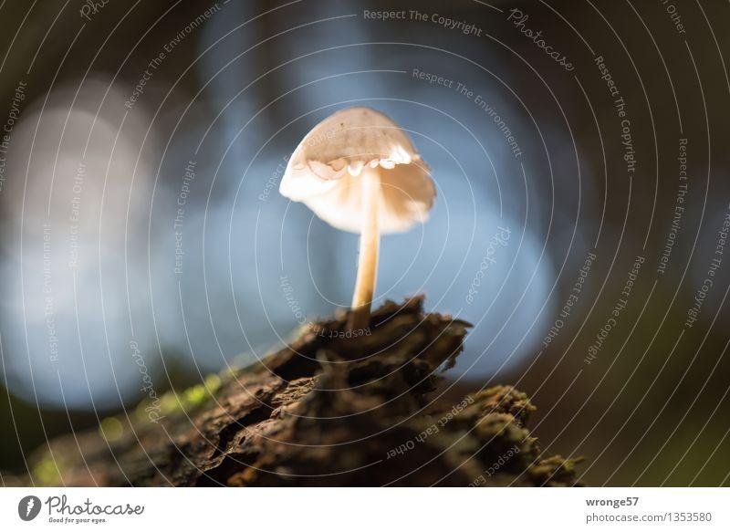 Solist Natur Herbst Pilz Wald klein nah blau braun grün türkis weiß winzig Makroaufnahme Waldboden Baumstamm Moos Gegenlicht Reflexion & Spiegelung Unschärfe