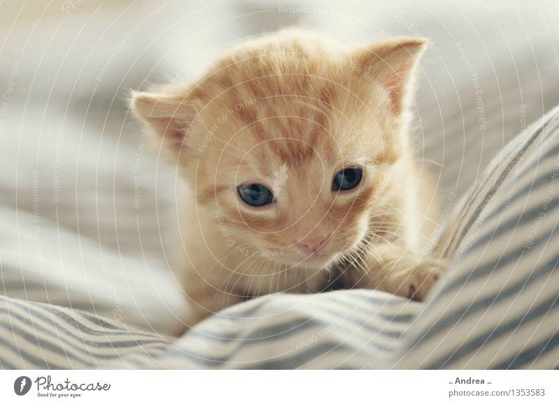 Babykatze 2 Haustier Katze 1 Tier gehen schlafen rote Katze cat kitten entdecken erste Schritte Innenaufnahme Katzenbaby Farbfoto