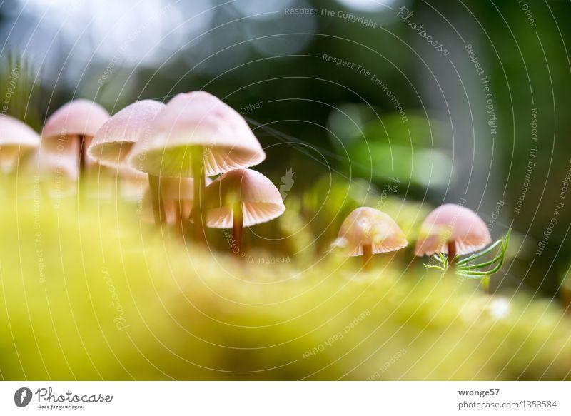 Gruppentreffen Natur Pflanze Herbst Schönes Wetter Wald klein braun gelb grün rosa Pilz winzig mehrere gruppiert Waldboden Moos Moosteppich Spinngewebe