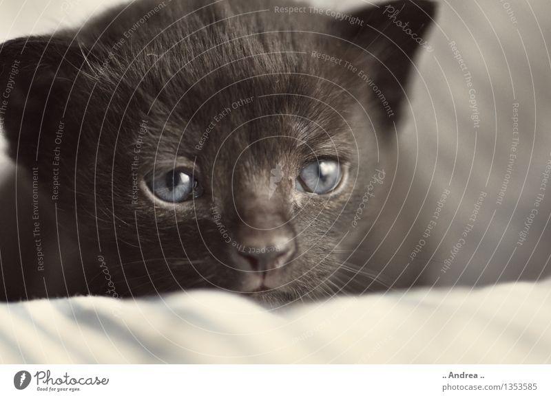 Babykatze 1 Tier Haustier Katze Tiergesicht schlafen träumen kuschlig schwarz Zufriedenheit Katzenbaby schwarze Katze blaue Augen weiblich cat kitten Farbfoto