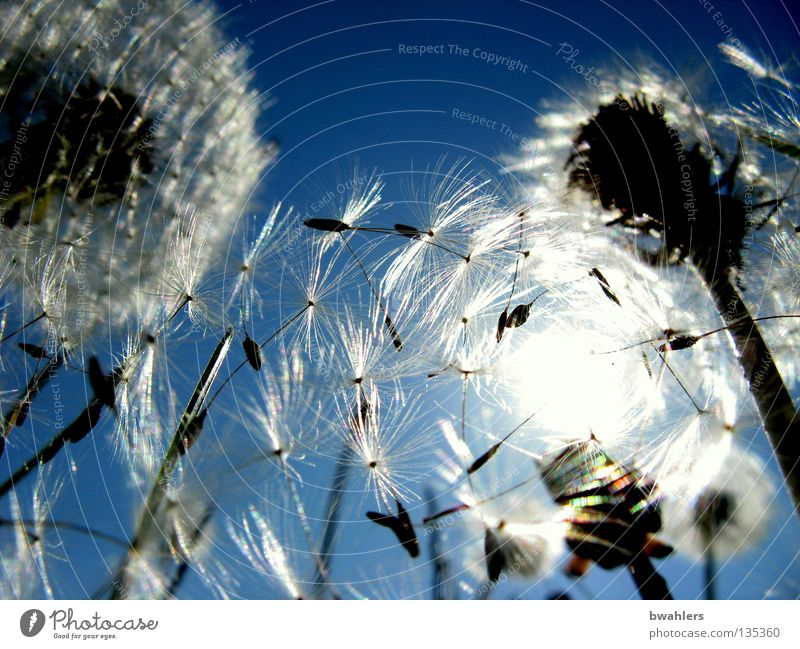 Sonnen - Schirmchen 2 Beleuchtung Gegenlicht Löwenzahn Licht weiß mehrere Blüte Wiese Blume Vergänglichkeit Himmel blau hell Samen fliegen viele Landschaft welk