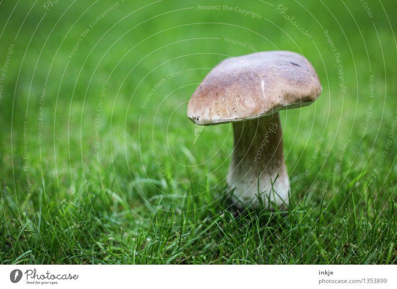 Steinpilz auf dem Rasen Natur Pflanze grün Sommer Tier Herbst Wiese Gras Garten braun Wachstum frisch stehen einzeln Pilz essbar