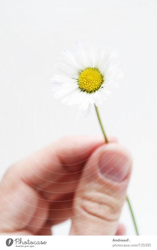 Hier, für Dich. Geschenk schenken Blume Gänseblümchen Finger Hand geben klein zart zierlich Muttertag Blüte Geburtstag Sommer Ernte blumen schenken