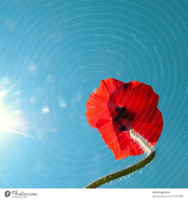 ringelmohn. Klatschmohn rot türkis Stengel Blume Sommer Frühling Mohn Himmel blau Sonne Natur