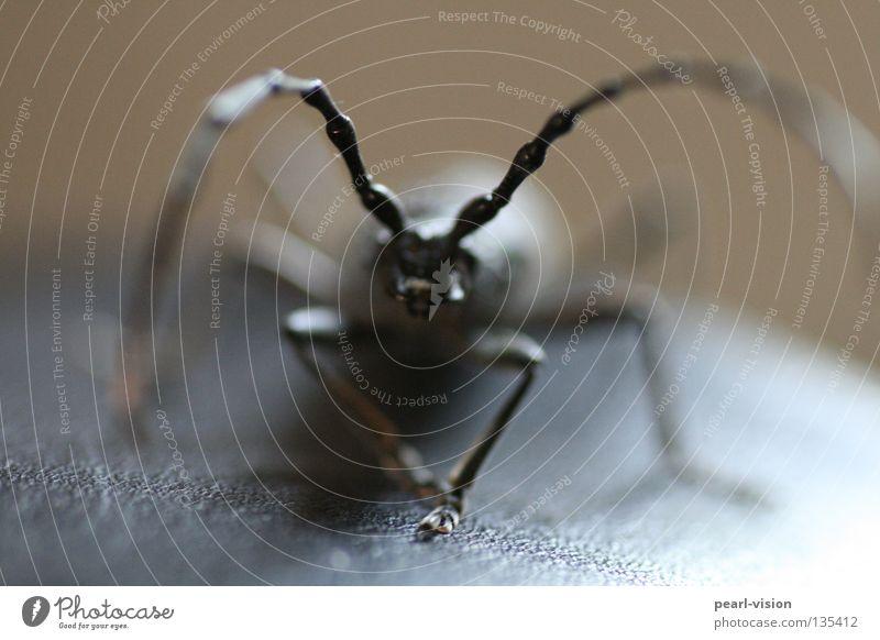 Antennen schwarz bedrohlich Fühler Innenaufnahme Makroaufnahme Nahaufnahme Käfer Teile u. Stücke Kontakt