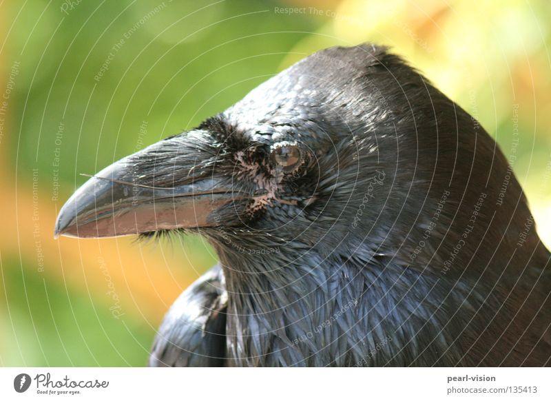 Blickdicht schwarz Erholung Kraft Vogel Pause offen Wachsamkeit Schnabel Tier Rabenvögel Krähe