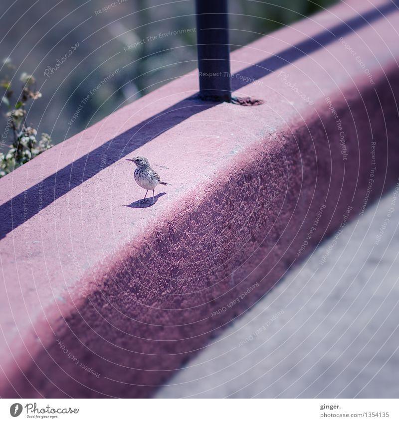 Piepmatz Tier Wildtier Vogel 1 grau rosa klein schön niedlich Mauer Schattenspiel Ecke vertikal Neugier Pause Sträucher Oberflächenstruktur Strebe getupft