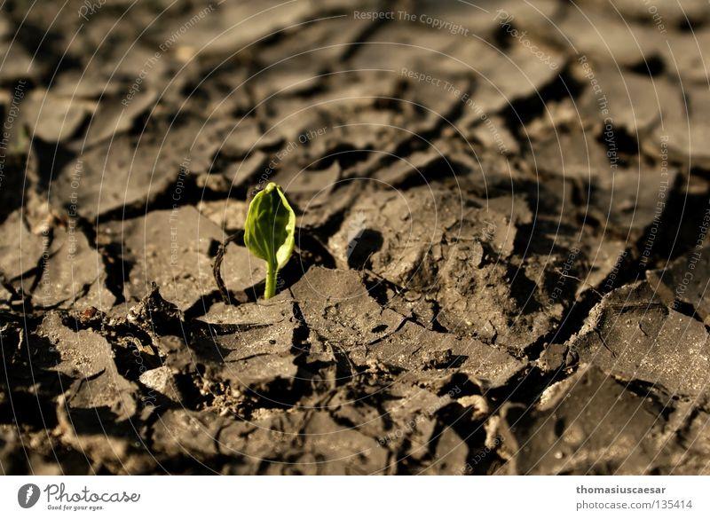 Auferstanden... Pflanze trocken braun grau Schlamm grün klein zart stark fleißig erleuchten Neuanfang Frühling Bodenbelag Riss Erde Sand trist Schatten hoffung