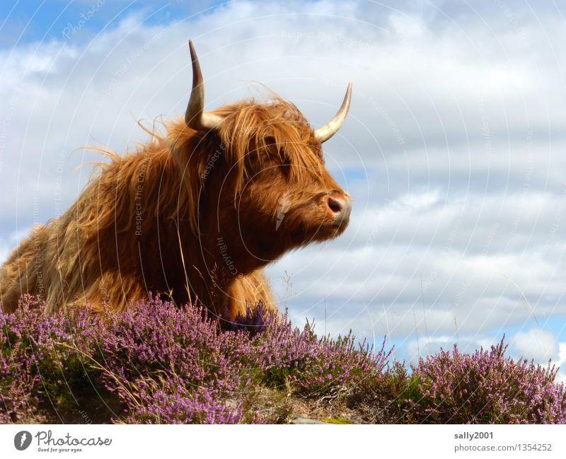 Friseurmodell... Tier Haare & Frisuren braun liegen träumen Wind warten beobachten Freundlichkeit Weide Kuh Horn Pony Schottland Nutztier Heide