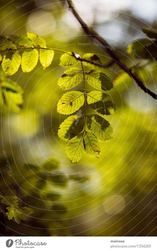 zartes Leuchten elegant Stil Umwelt Natur Herbst Schönes Wetter Sträucher Grünpflanze Zweige u. Äste Blatt Wald Unschärfe Lichtpunkt Lichterscheinung Lichtspiel