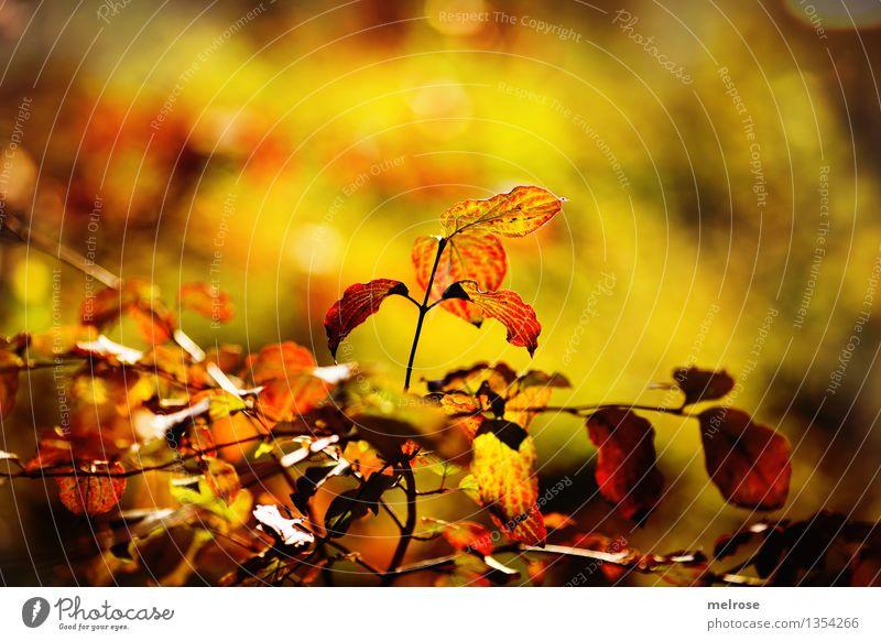 Herbstleuchten 2015 elegant Stil Umwelt Natur Schönes Wetter Baum Sträucher Blatt Ast Zweige u. Äste Wald Unschärfe Lichtpunkt Blühend Erholung glänzend