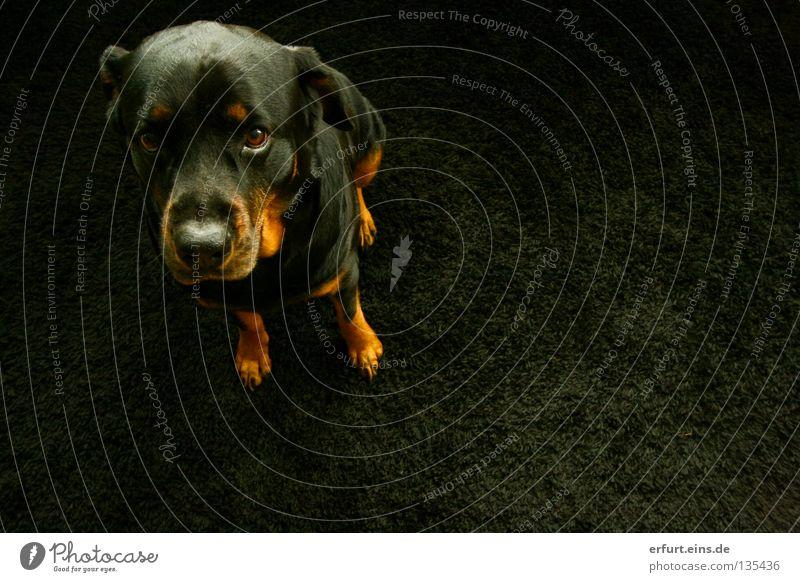 Prinzessin Shira Rottweiler Hund verlegen schwarz Teppich Tier süß niedlich Dogge Vogelperspektive Fell Schnauze glänzend braun fein schön Gefühle Säugetier