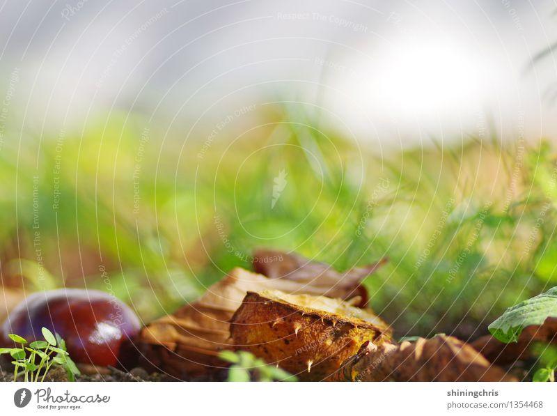 herbst Natur Erde Herbst Schönes Wetter Gras Kastanie Garten Wärme braun grau grün Idylle ruhig herbstlich Kastanienbaum Leben unberührt Umweltschutz Farbfoto