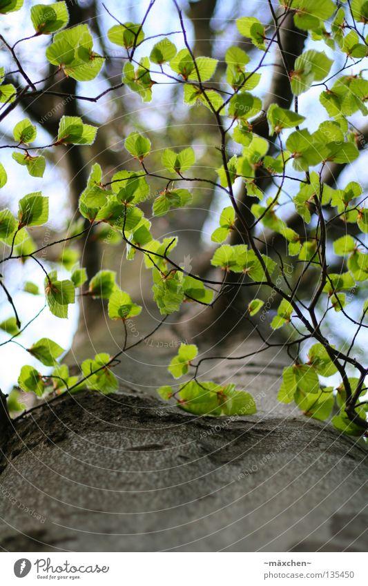 Blätterdach Baum Baumrinde Blatt grün Photosynthese unten Himmel Dach Frühling Sommer dünn zierlich klein Reifezeit Luftverkehr Ast tree tiefenunschärfe
