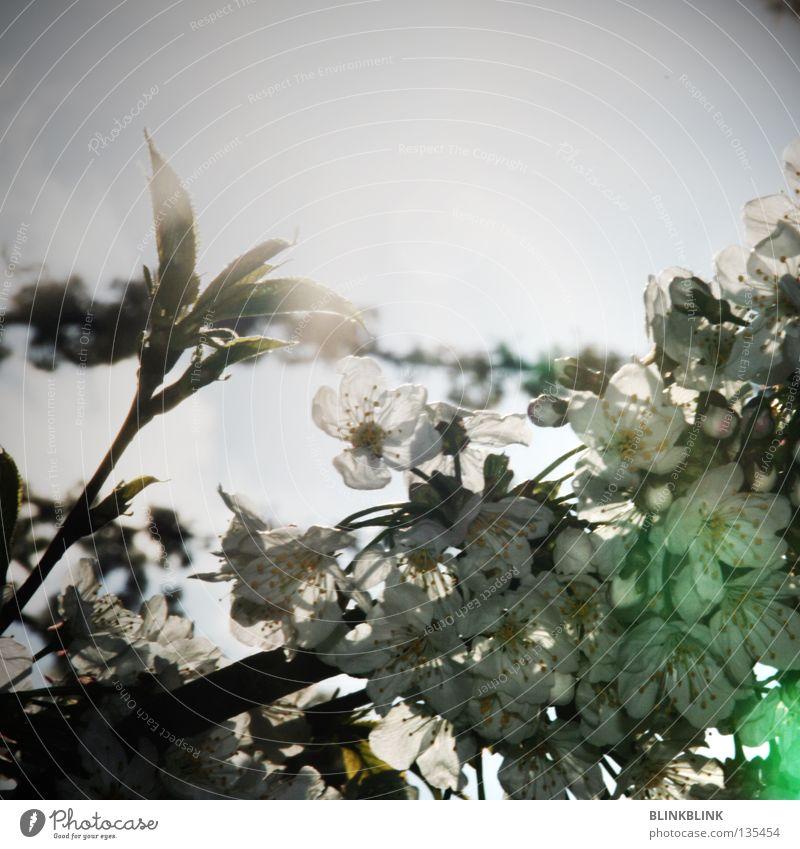 geblendet blenden Licht Blüte Frühling Blende aufwachen Baum frisch Sommer schön weiß Blütenblatt brechen Sonntag entdecken grün grau schwarz Sonne Jungpflanze