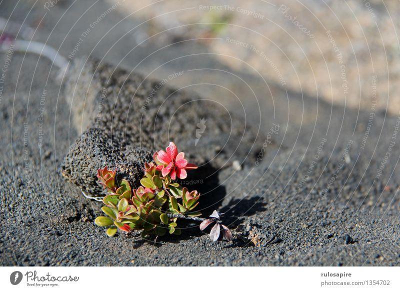 Island #6 Umwelt Natur Pflanze Erde Sand Blume Sträucher Blatt Blüte Grünpflanze Wildpflanze Vulkan Insel Wüste Lava Lavasand Lavafeld grau grün rot schwarz