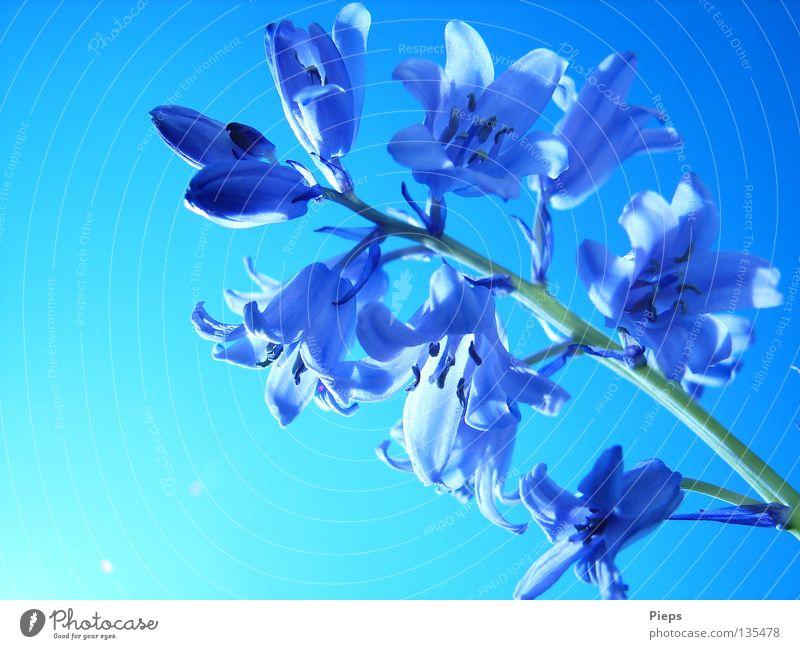 Maiblau (1) Farbfoto Außenaufnahme Nahaufnahme Makroaufnahme Hintergrund neutral Tag Freude schön ruhig Pflanze Himmel Frühling Blume Blüte Blühend