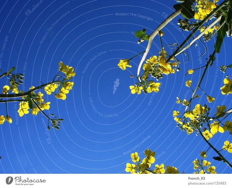 Just Raps IV gelb zyan grün Pflanze Blume einfach Blüte Landwirtschaft Allergiker schön Frühling erleuchten mehrfarbig Erholung Ereignisse ruhig Gelassenheit