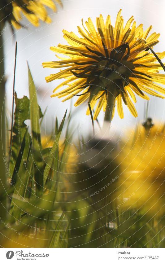 Lichtstrahl Sonne Freude gelb Leben Wiese Blüte Frühling Wärme Beleuchtung Physik Blühend Löwenzahn Halm Zärtlichkeiten